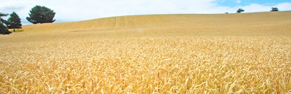 Producţia mondială de cereale se afla in crestere