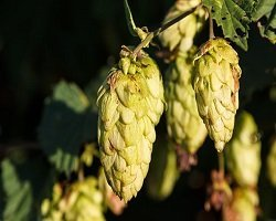 hops-1710240__340