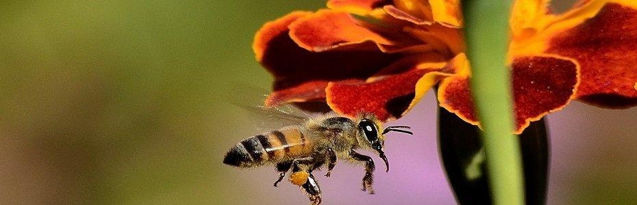 Pasi pentru colectarea mierii