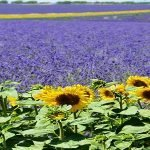 IDEI DE AFACERI: Cât de profitabilă a ajuns cultivarea lavandei?