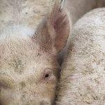 OIE anunță România liberă de pestă porcină!