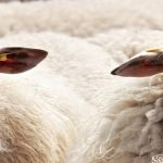 Subvenții pentru oierii care vând lâna!