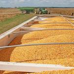 De ce vânzarea grâului din Franța este tot mai proastă