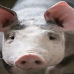 Românii mănâncă carne de porc din Africa