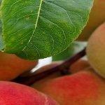 Unii producători europeni de piersici și nectarine vor primi 12,8 mil euro