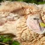 APIA trimite banii către crescătorii de animale!