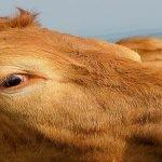 Județul Mureș a înregistrat cea mai mare producție de lapte