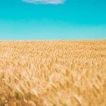 Exporturi mai mici de cereale în 2017, dar producție de grâu mai mare