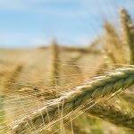 Cel mai mare producător de semințe european e un român
