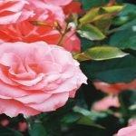 Afaceri în agricultură: cultura de trandafiri