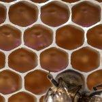 Cât de mult a afectat gerul producția de miere de anul acesta?