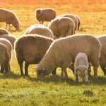 Fermierii au mai mult timp să vândă lâna