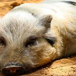 Despăgubiri pentru fermierii afectați de pesta porcină?