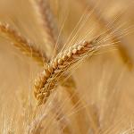 Al Dahra preia cea mai importantă fermă de cereale din România