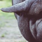 Prejudiciile suferite de fermieri din cauza pestei porcine vor putea fi acoperite