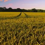 Plantele fermierilor atacate de o nouă BOALĂ! FACE RAVAGII!