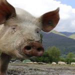 Problemele provocate de criza pestei porcine din România