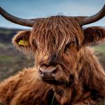 Crescătorii de animale pot veni să-și ridice banii de la APIA