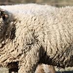 România deține locul al 3 lea în UE la capitolul efectiv de ovine