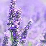 Plantele medicinale și aromatice au devenit neimpozabile de la 1 ian 2019!