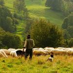 România va începe exportul de ovine în Emiratele Arabe Unite