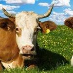 Noi condiții de acordare a subvențiilor pentru crescătorii de animale