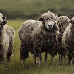 Subvențiile pentru vânzarea lânei vor crește!