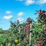 Suprafețele de pomi fructiferi în 2017, în cifre, în UE