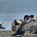 Cormoranii s-ar putea să fie omorâți