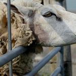 Afacerea cu lâna oilor: cea mai profitabilă din agricultura românească