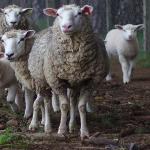 Ciobanii solicită ajutor financiar de la stat