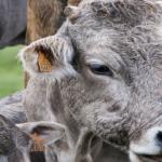 APIA plătește ajutorul de stat în sectorul creșterii animalelor