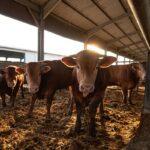 Crescătorii de animale primesc subvențiile!